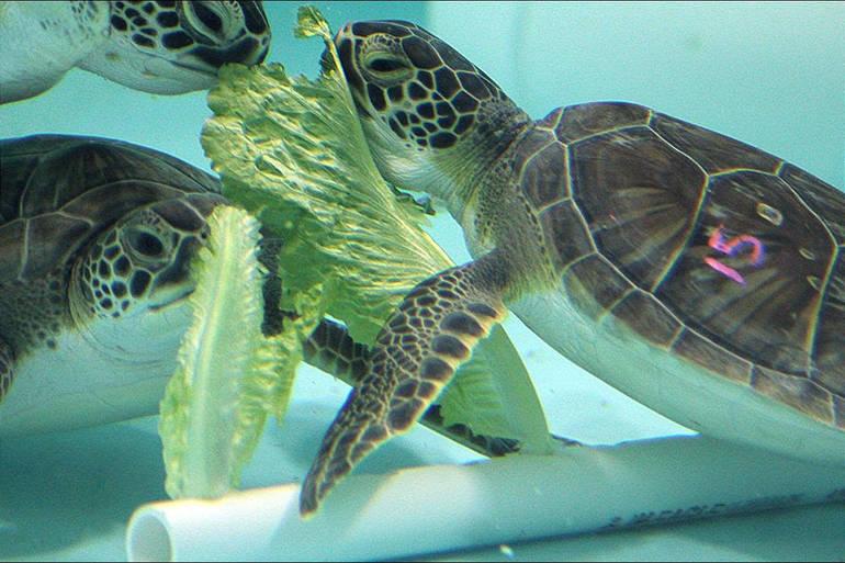 Green Sea Turtles enjoying lettuce while recovering at Sea Turtle Recovery at the Turtle Back Zoo.png