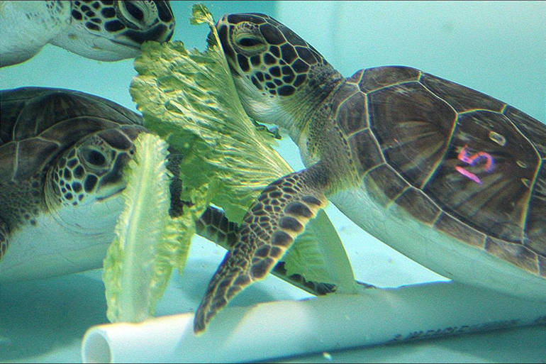 Green Sea Turtles enjoying lettuce while recovering at Sea Turtle Recovery at the Turtle Back Zoo.png