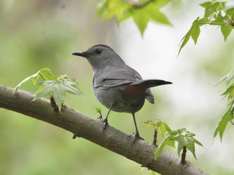 Gray Catbird.jpg