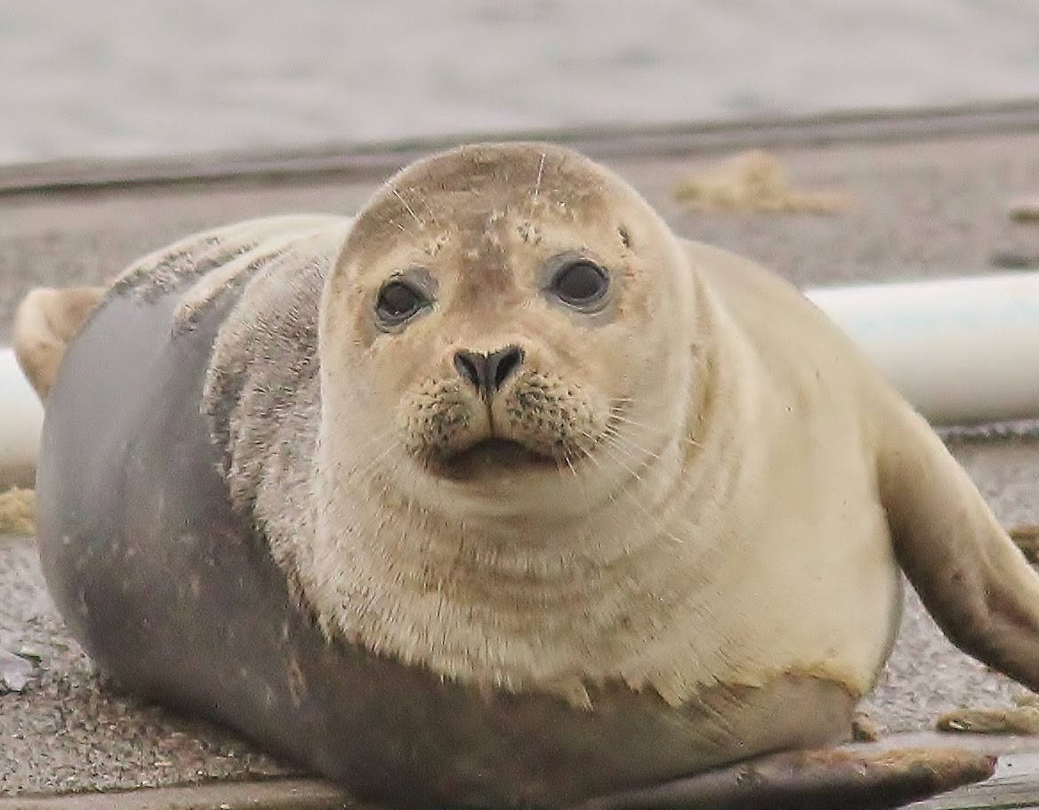 Harbor Seal picture.jpg