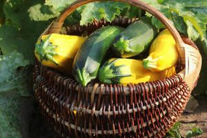 A basket of fresh-picked zucchini in a basket.