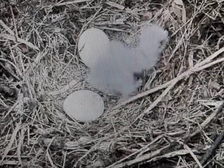 Update: Second Chick Hatches in Duke Farms Eagle Nest; One to Go