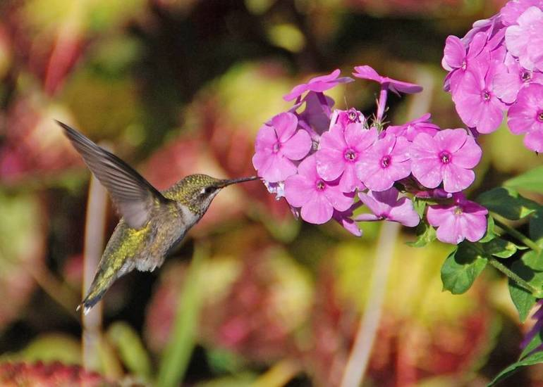 Hummingbirds feed on mosquitoes, other insects as well as flower nectar and feeders.