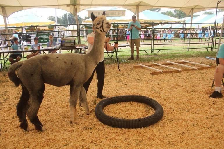 4-H Fair Alpaca Show