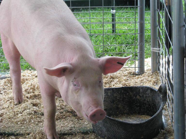 Swine Exhibit at 4-H Fair