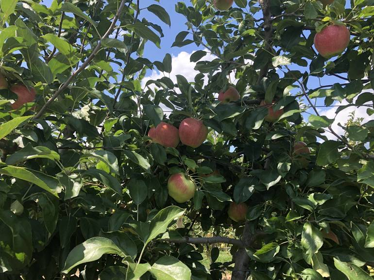 Great Places to go Apple Picking in New Jersey this Season