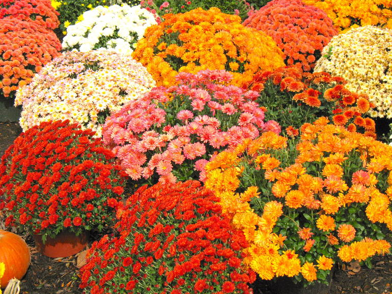 Mum's The Word: Plant Sales Benefit Overlook Auxiliary Sept. 21-23