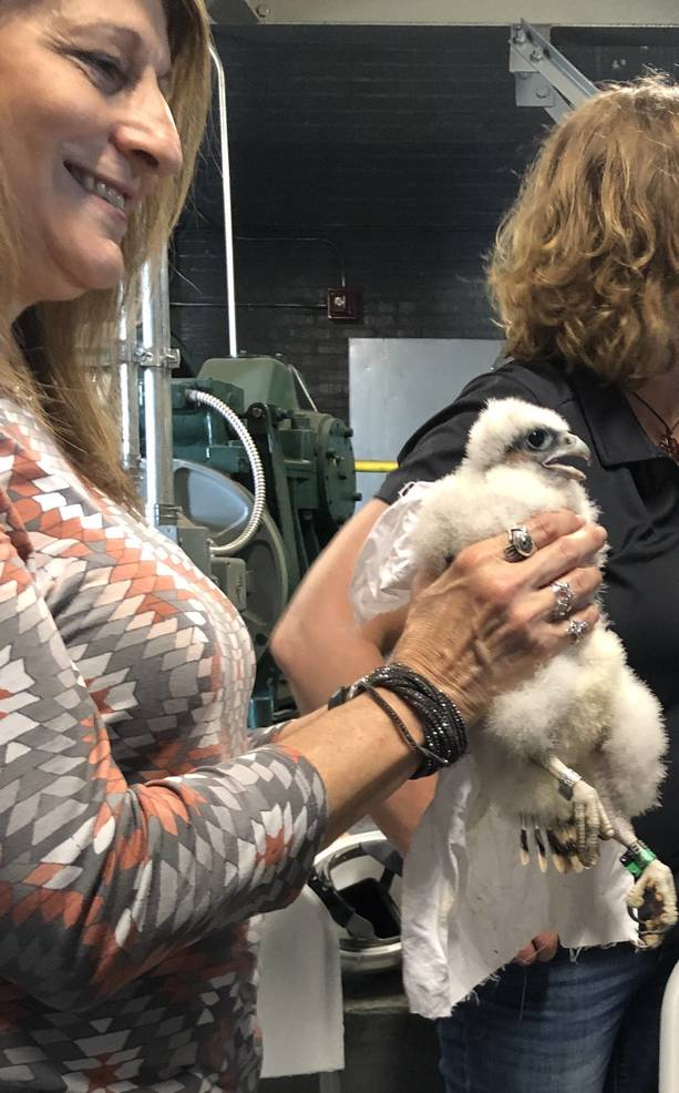 Video: Baby Peregrine Falcons at Union County Court House Get Banded by NJDEP Wildlife Experts