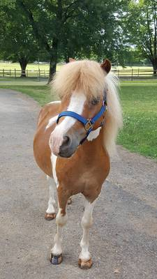 """Local Children Invited to Meet """"JJ,"""" Newest Pony at Lord Stirling Stable, On Sunday"""