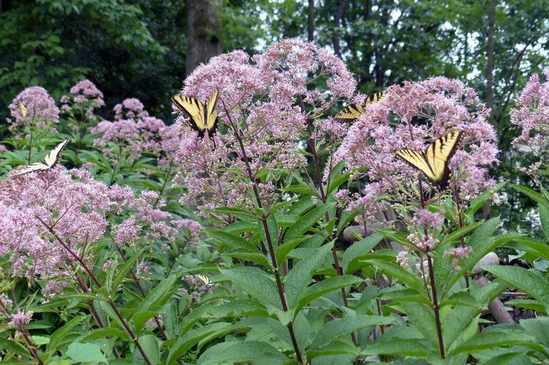 Joe Pye Weed with Swallowtail Butterfly