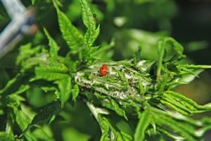 Carousel image aeb98823961817e1f1e6 23423dcca971c060dadb ladybeetle eating aphids 06.2012   009 copy 2 copy