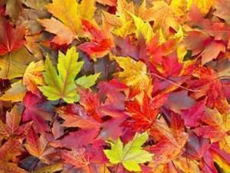 Hawthorne Leaf Collection Ends