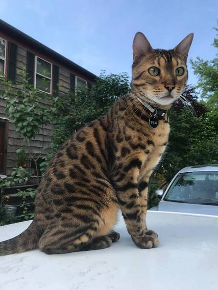 Blind Bengal Cat Missing For 35 Hours Returns Wakes Up Westfield