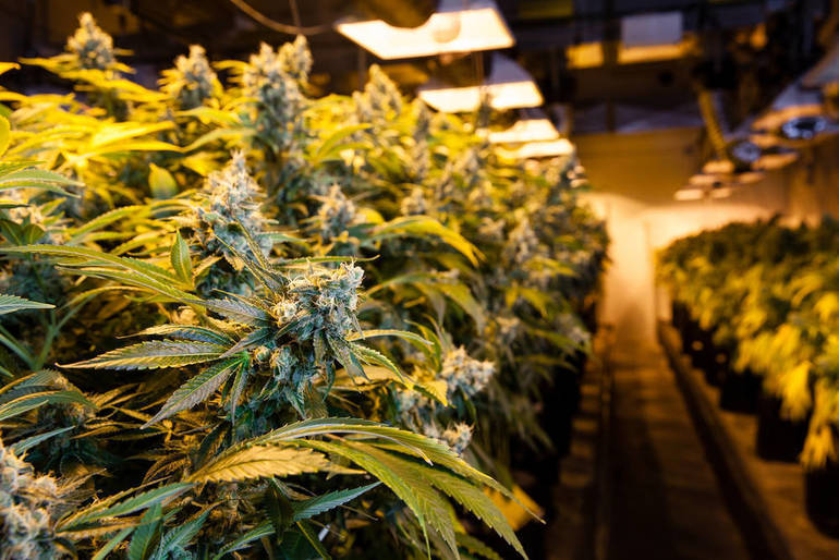 Search Warrant Uncovers Marijuana Growing Operation in Radcliffe Area of Nutley, Residents Arrested
