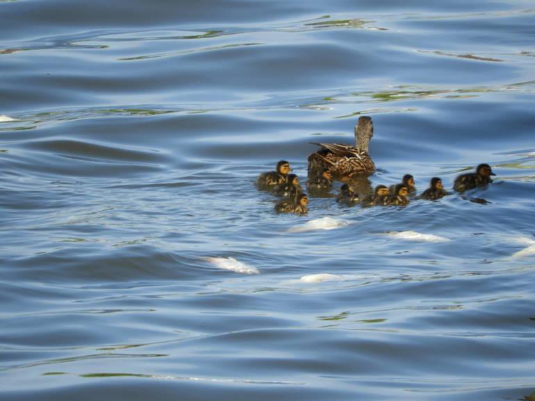Mallard with ducklings1.JPG