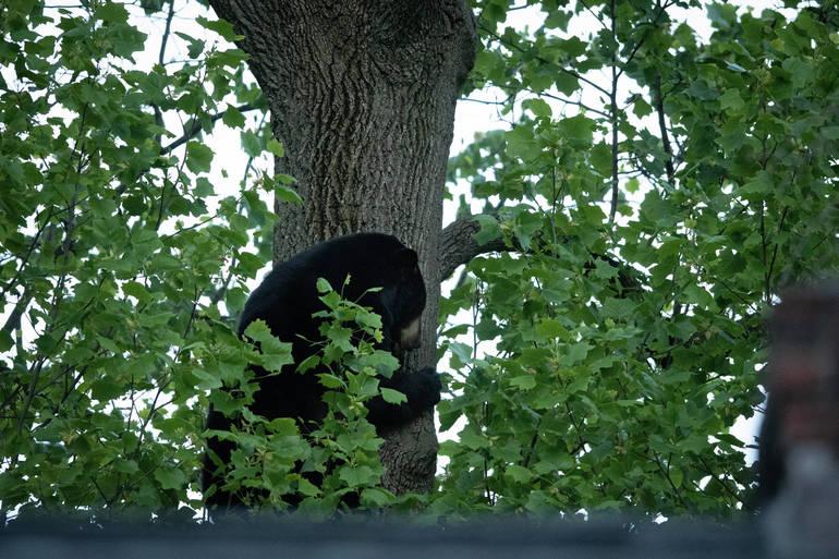 Millburn bear climbs down TA Baker.jpg