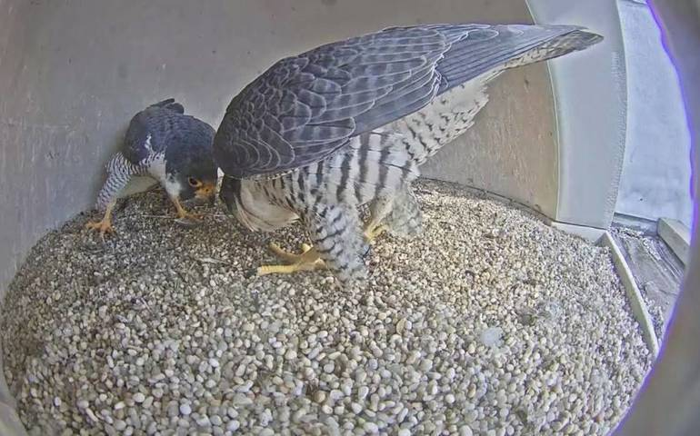 New female falcon March 2019.jpg