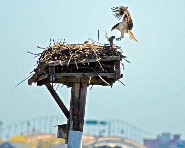 osprey_landing-  gary lehman.jpg