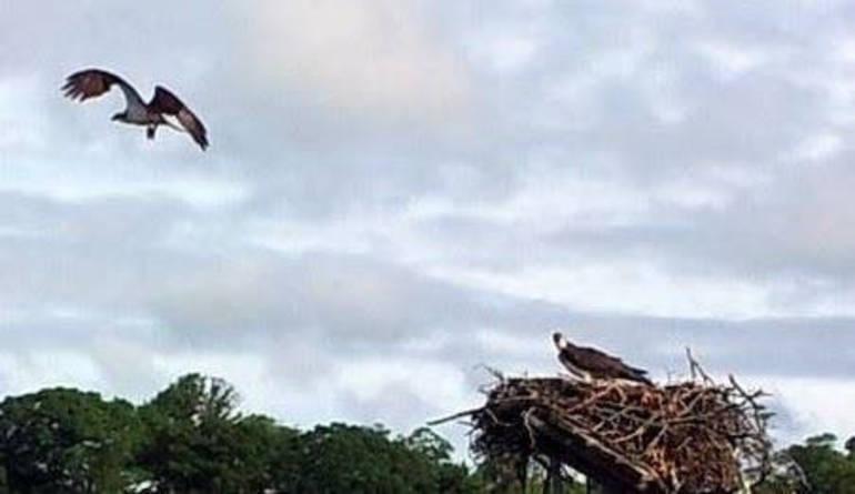 Ospreys.jpg