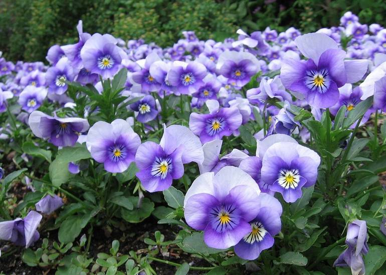 Pansies provide color, and with some varieties, fragrance to containers and gardens during the cooler months of the year