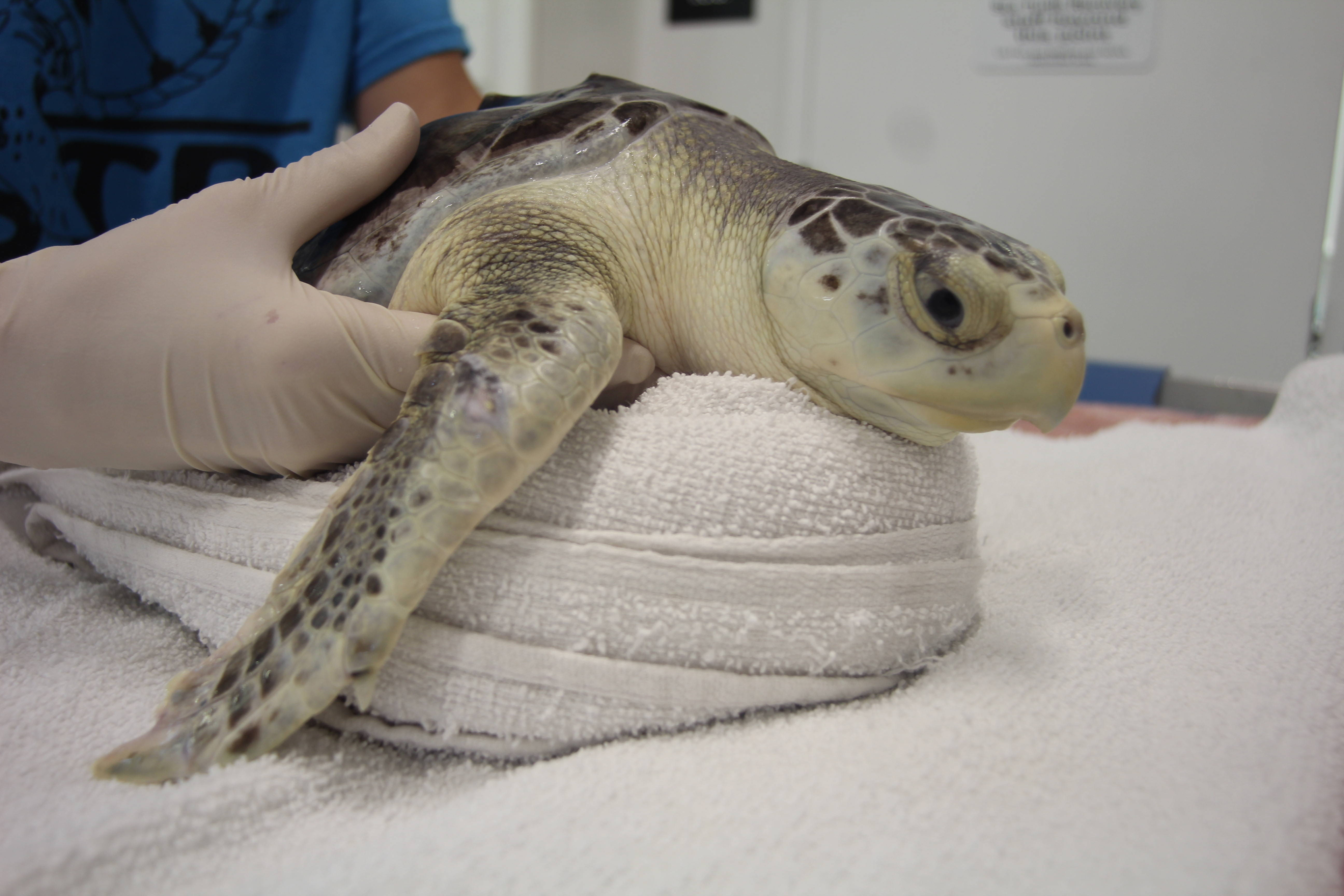 Four Healthy Sea Turtles to be Released at Point Pleasant Beach Tomorrow