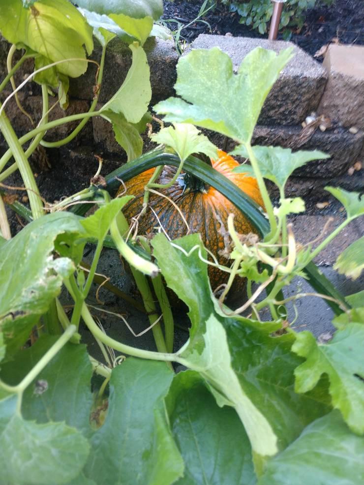 pumpkins3.jpg