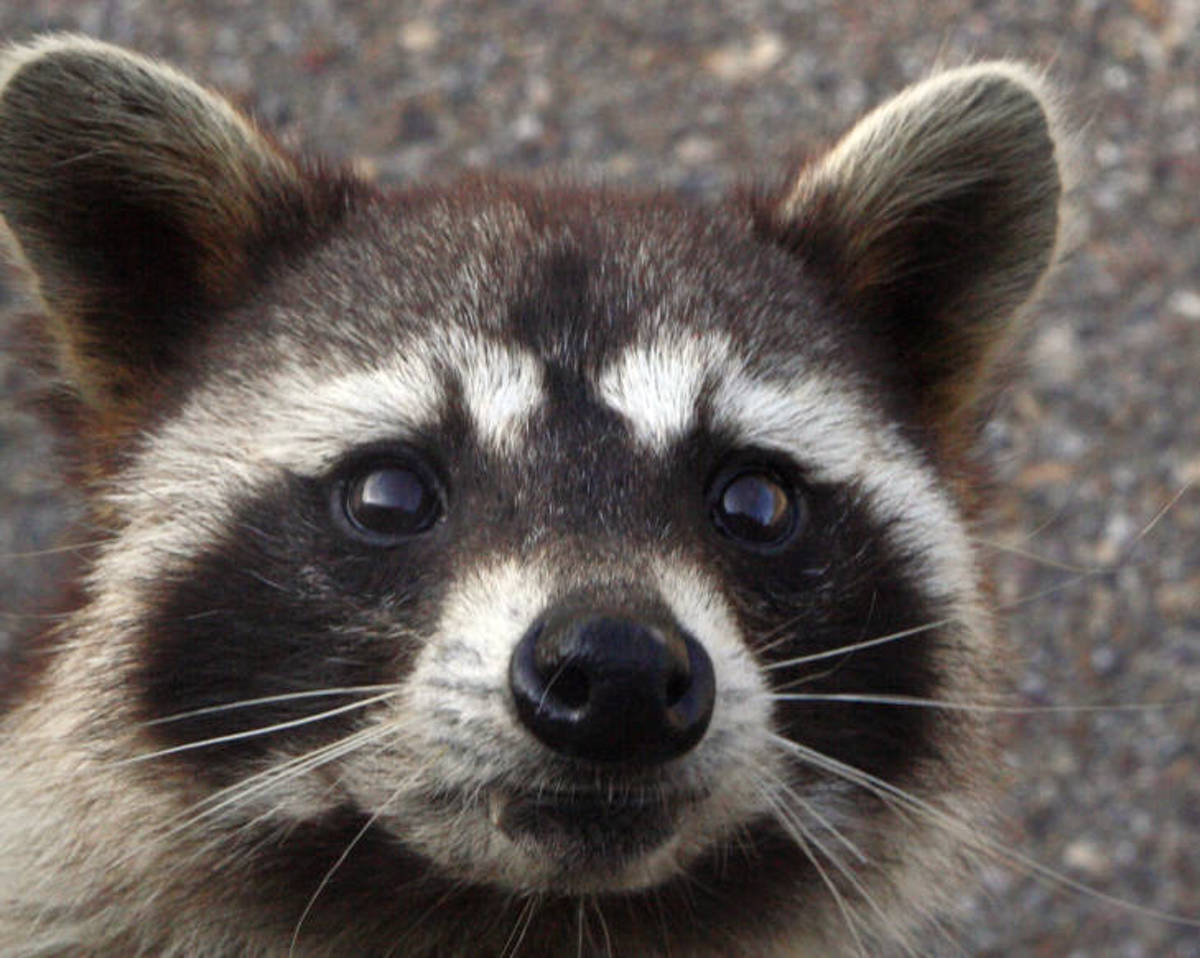 raccoon usfws.JPG