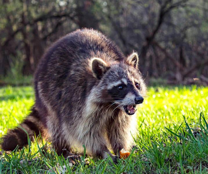 raccoon(1).png