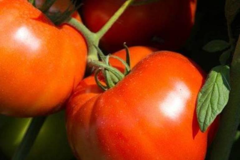 Rutgers-250-tomato-700x466.jpg