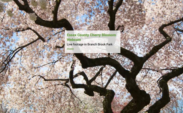 Essex County Cherry Blossom Festival 2021 to be Virtual
