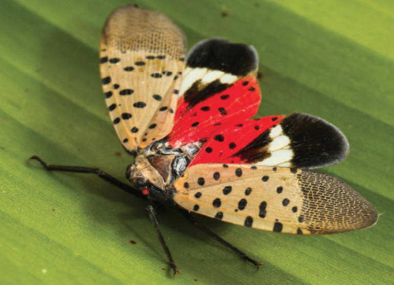 How to Identify, Destroy and Report Invasive Spotted Lanternfly in Bernardsville