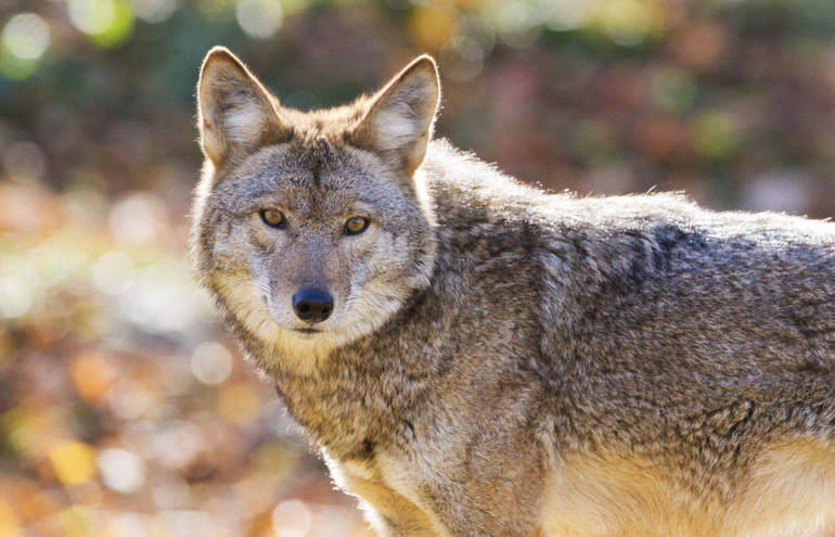 Jogger Hurt While Running From Coyote in Coral Springs Park