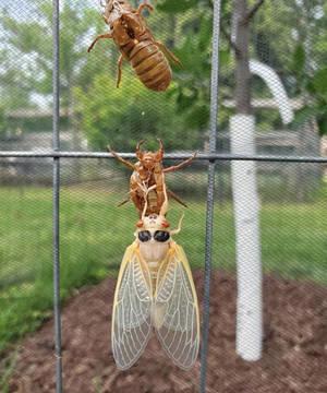 Noisy Cicadas Emerge in New Jersey from 17-Year Underground Hiatus