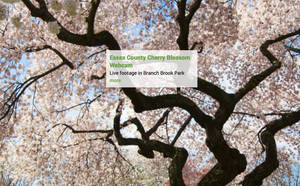 Essex County Cherry Blossom Festival Offers Virtual Options for 2021