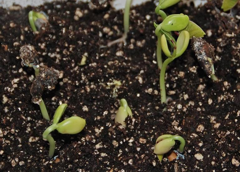 Best crop 3bcd2b78e5cc5c92bf2f e0374282f56b9d7db2b8 seeds sprouting