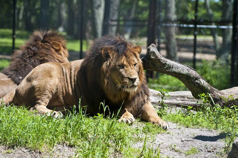 SF Safari - male lions.jpg