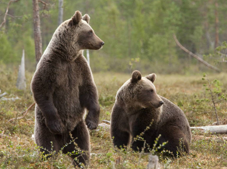 Rutgers Profs study the Medical Use of Bear Drool