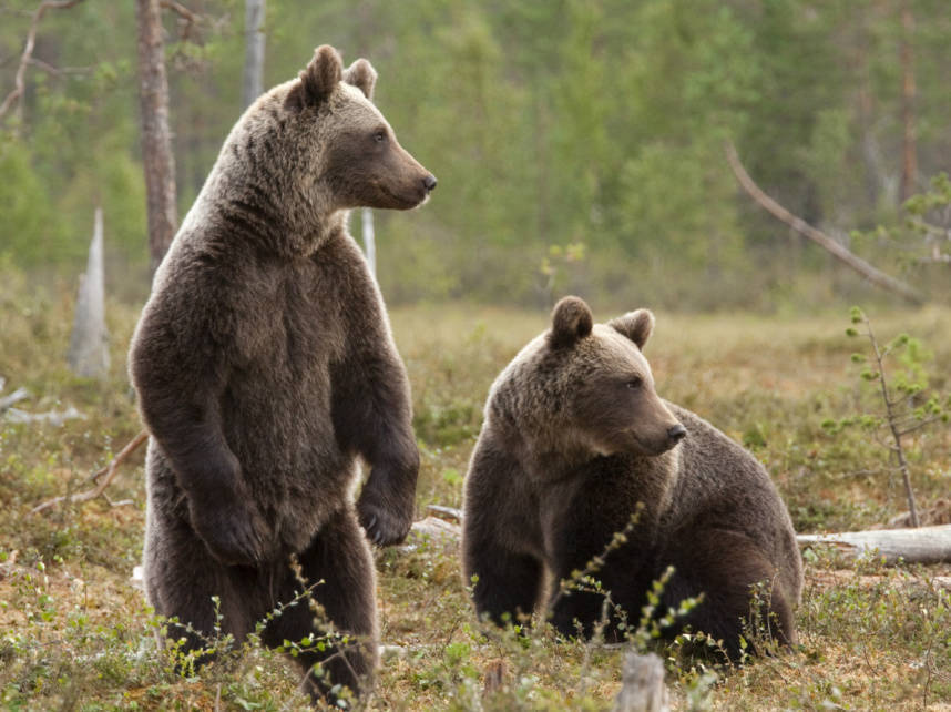 Siberian-brown-bears.jpg