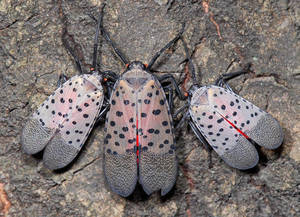 Union County Assigns Earth Day Project: Stop the Spotted Lanternfly