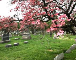 Somerville: Sturdy Pink Dogwoods Form Canopy Over Historic Graves
