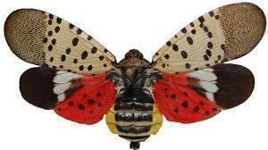 East Brunswick, Spotted Lanternfly
