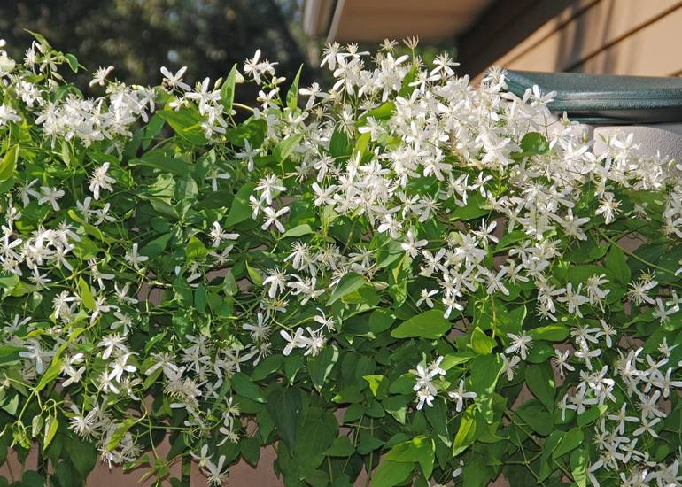 Sweet autumn clematis with white flowers and fragrant beauty quickly climbs up trellises and arbors.