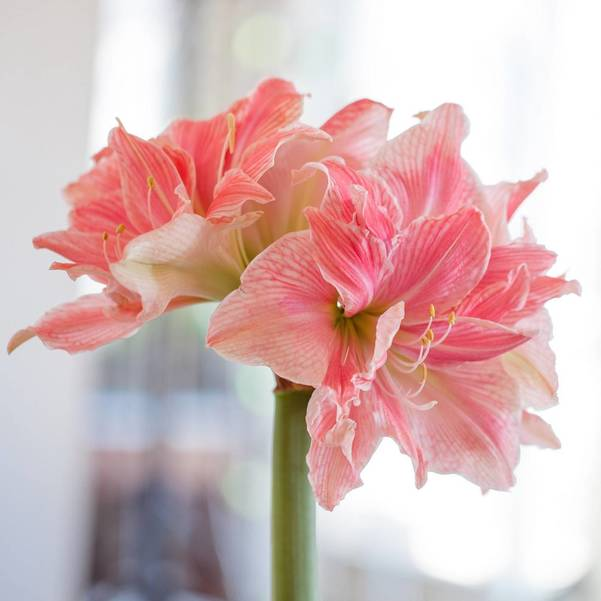 Grow Frilly, Bold and Unique Amaryllis Indoors This Winter