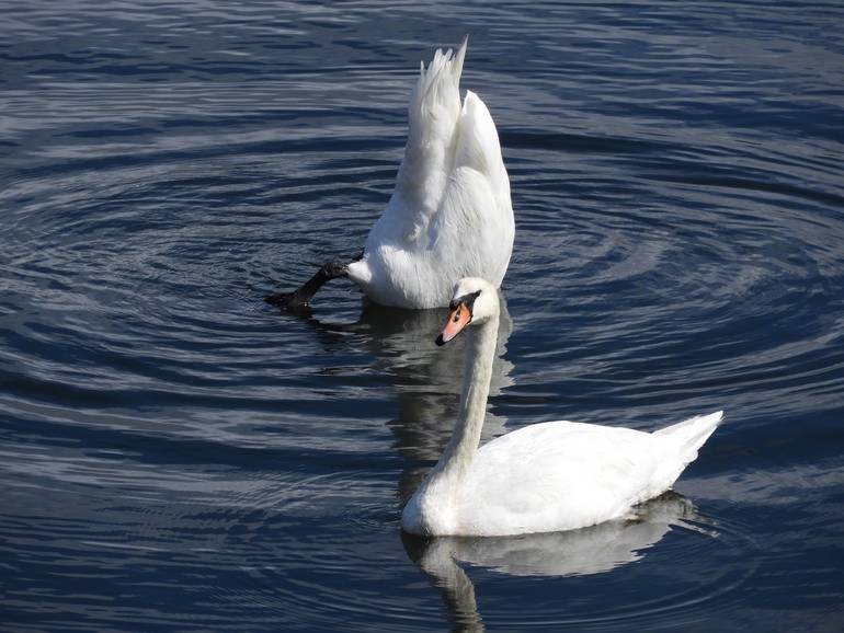 swan3.jpg