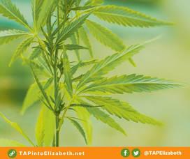 Marijuana Plant from TAPinto Elizabeth.