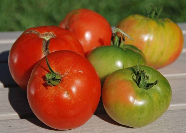 At the end of the season, pick tomatoes that are starting to show some color and allow them to finish ripening indoors