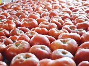 NJ tomatoes