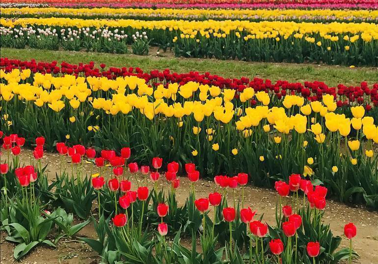 Tulips at Holland Ridge Farms