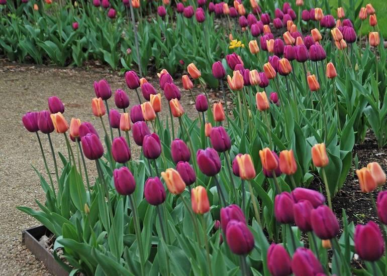Tulipa 'Endurance' & 'Apricot Foxx'.jpg