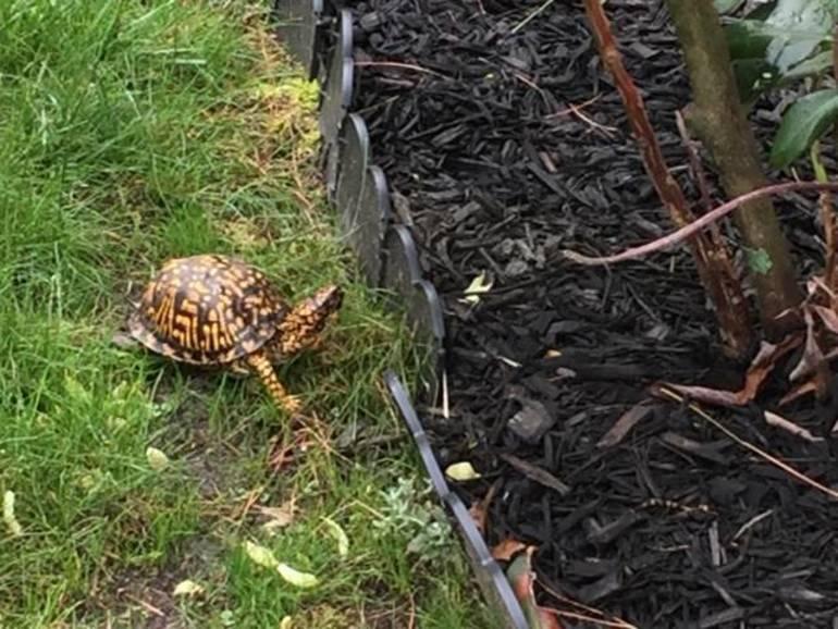 Turtle from Kathy's yard.JPG
